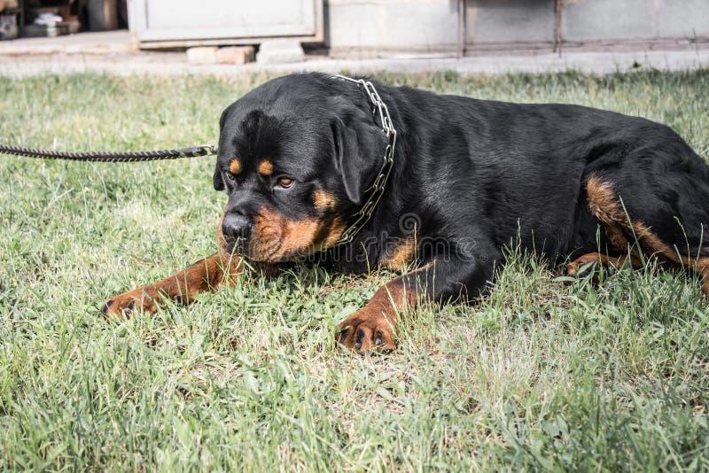 Cane adulto Razza Rottweiler puppies fotografia stock