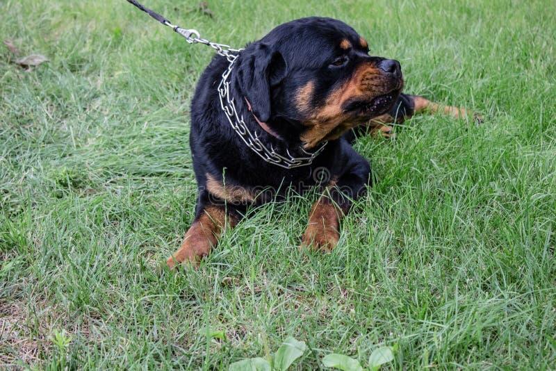 Cane adulto Razza Rottweiler puppies immagine stock libera da diritti