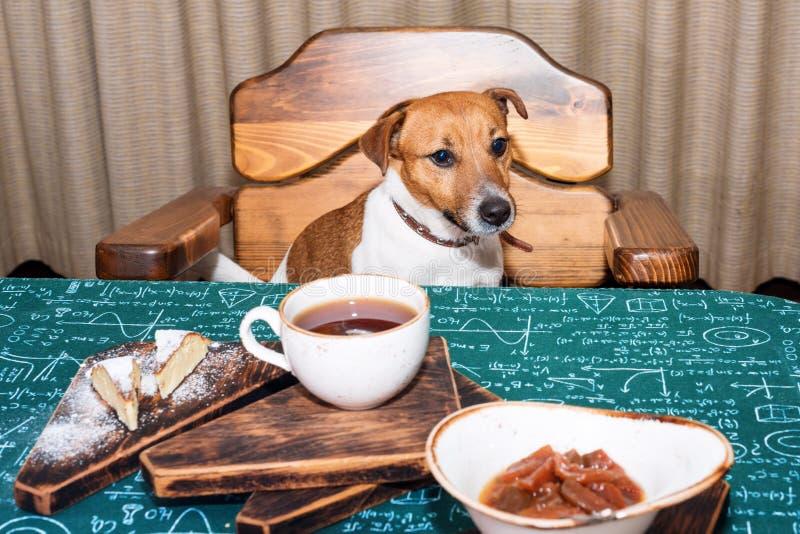 Cane affamato divertente di russell della presa nel tè mangiante e bevente della cucina sulla tavola fotografia stock libera da diritti
