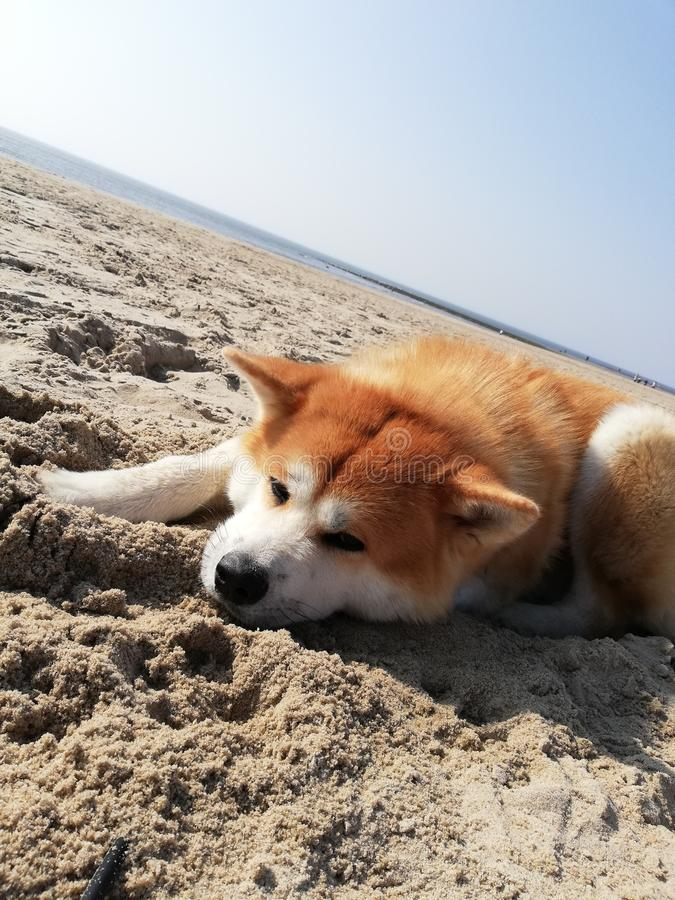Cane Akita Beach Sky Sea immagine stock
