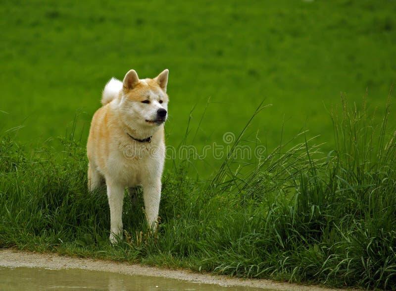 Cane/Akita Inu fotografia stock