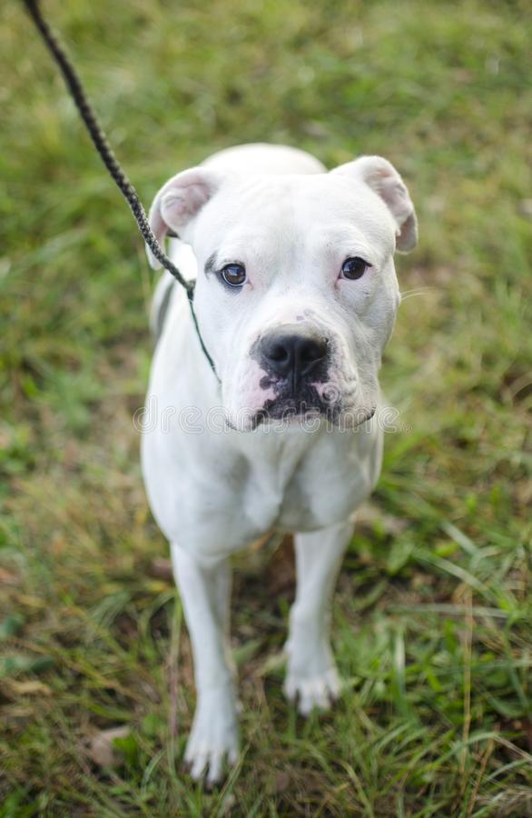 Cane americano bianco del pugile del bulldog sul guinzaglio immagine stock