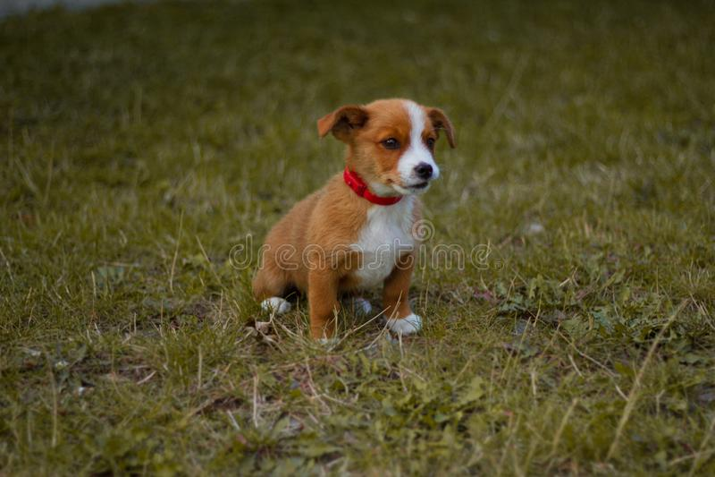 Cane, animale domestico, animale, cucciolo, terrier, sveglio, terrier di russell della presa, cane da lepre, canino, erba, bianco immagine stock