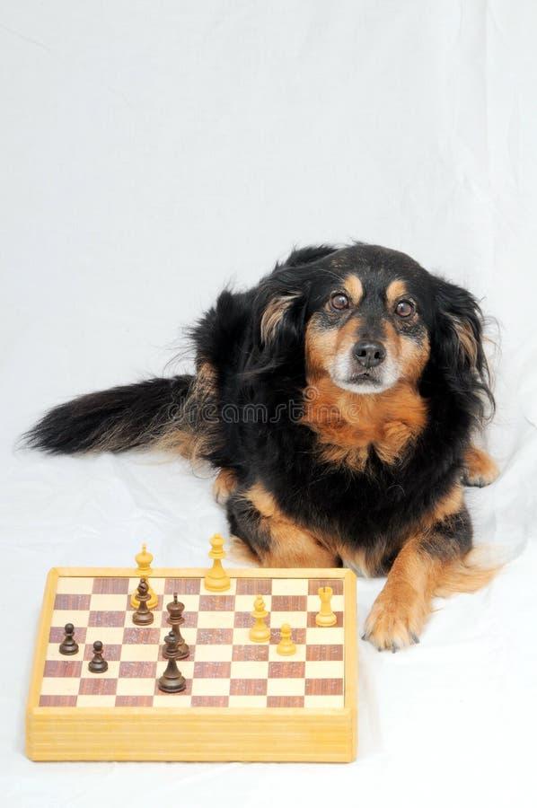 Cane astuto che gioca scacchi fotografia stock libera da diritti