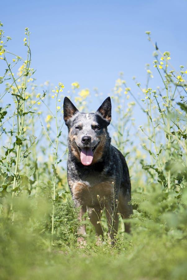 Cane australiano del bestiame che resta sul giacimento del seme di ravizzone immagine stock libera da diritti