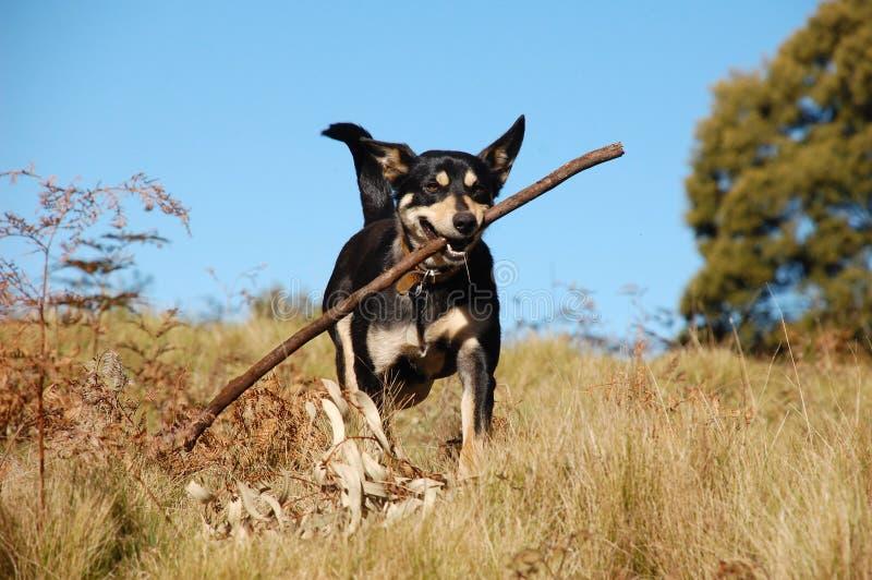 cane australiano del cespuglio che richiama bastone immagini stock libere da diritti