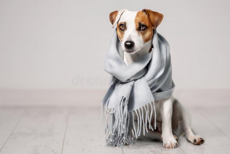 Cane avvolto in una sciarpa fotografia stock libera da diritti