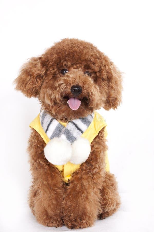 Cane - barboncino immagini stock libere da diritti