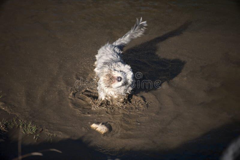 Cane barbuto delle collie che gode del bagno di fango fotografia stock libera da diritti