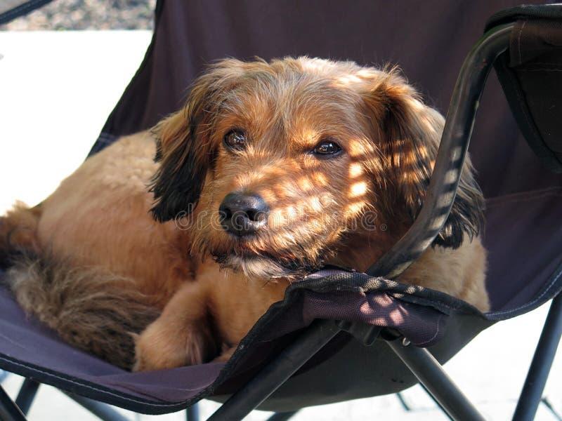 Cane bastardo sulla sedia immagine stock