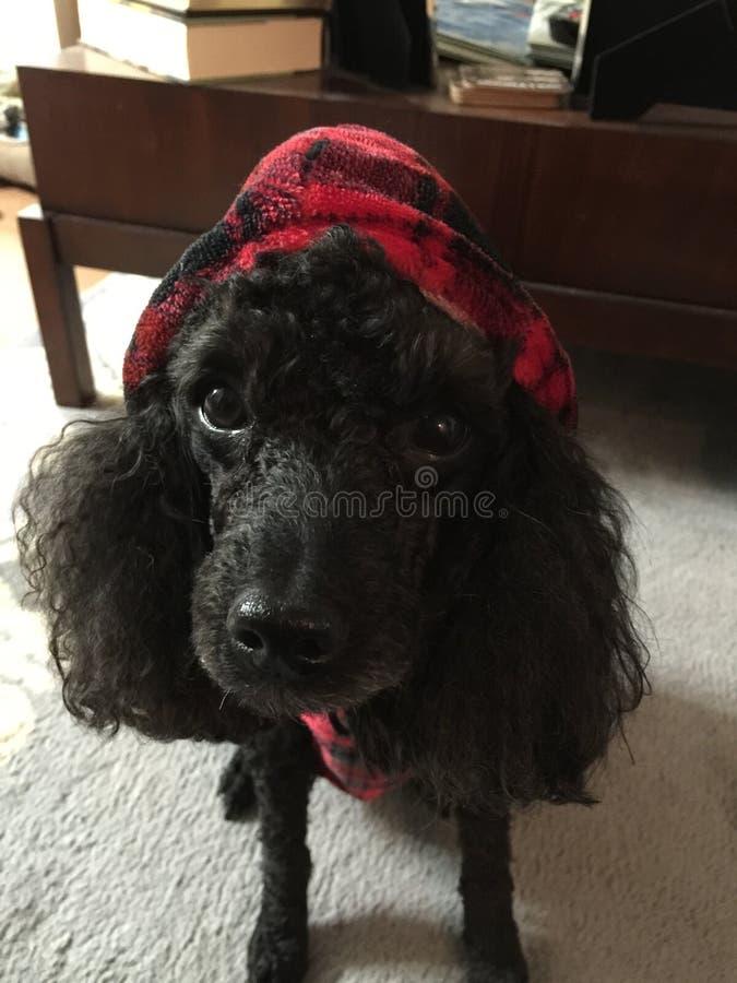 Cane bello che indossa la sua nuova maglia con cappuccio immagini stock libere da diritti