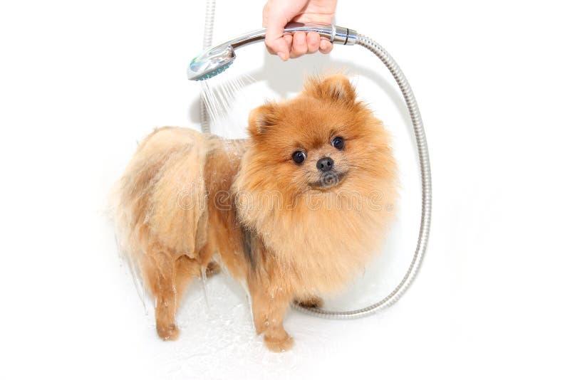 Cane ben curato governare Governando di un cane pomeranian Pomeranian divertente nel bagno Cane che prende una doccia Cane sul ba fotografie stock libere da diritti