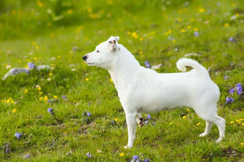 Cane bianco fotografie stock