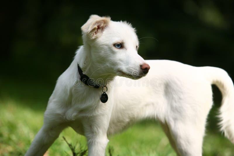Cane bianco immagini stock libere da diritti