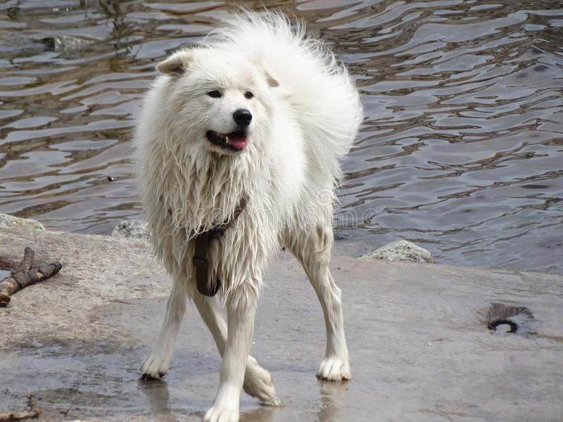 Cane bianco bagnato fotografie stock