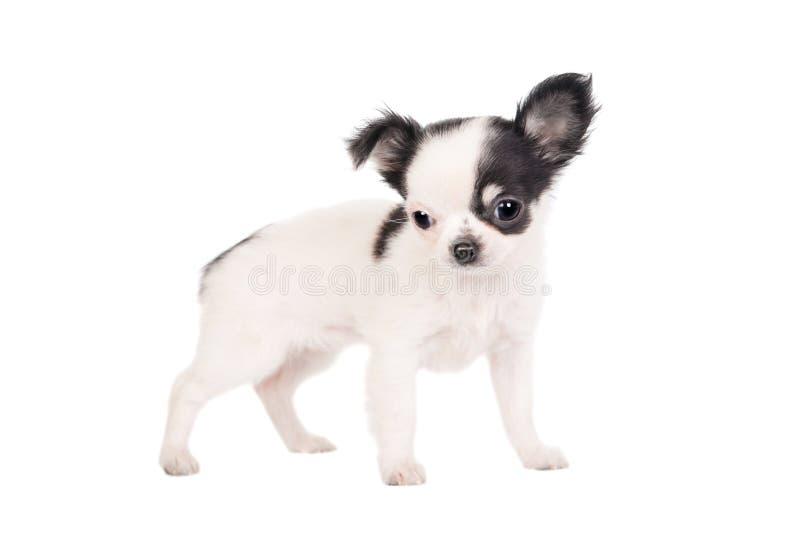 Cane bianco dai capelli lunghi della chihuahua fotografia stock