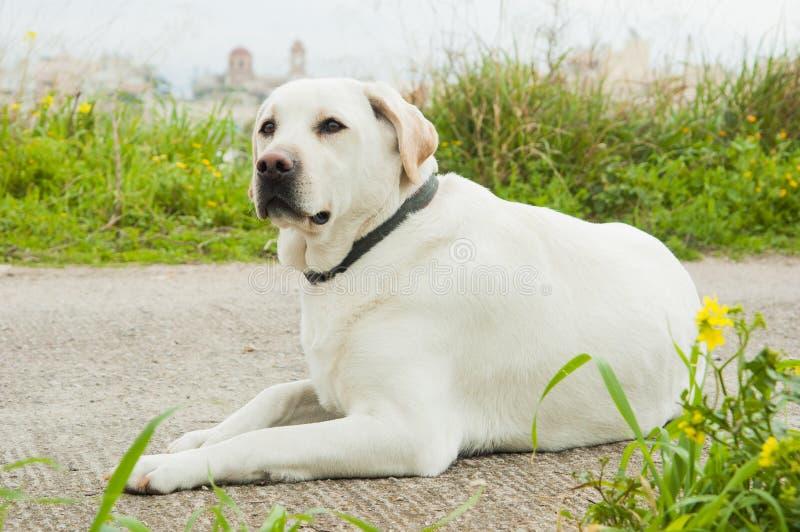 Cane bianco del documentalista di lambrador immagini stock libere da diritti
