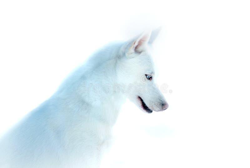 Cane bianco del husky con gli occhi azzurri su fondo bianco immagine stock