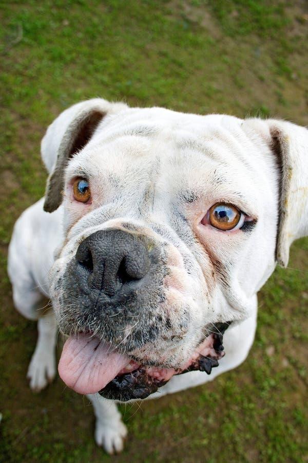 Cane bianco del pugile immagine stock