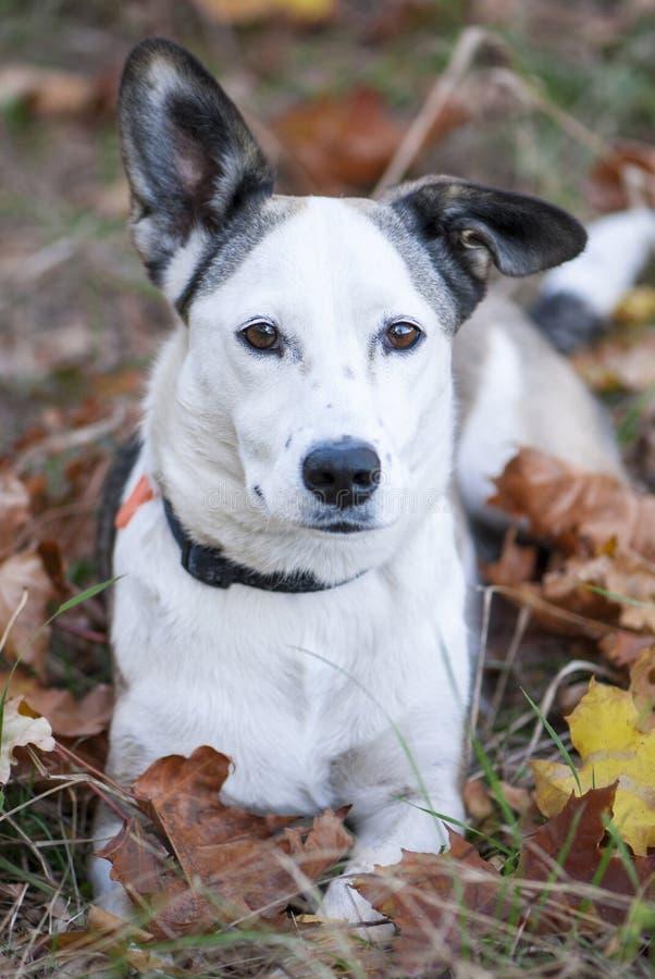 Cane bianco della razza mista di bellezza che si trova fra le foglie di autunno immagine stock