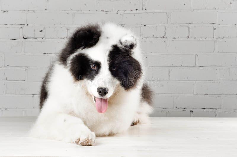Cane in bianco e nero di razza di laika di Yakutian che si situa all'interno fotografie stock libere da diritti