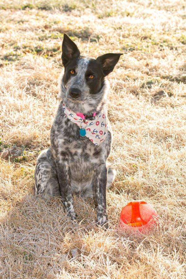 Cane in bianco e nero di Texas Heeler che si siede nell'erba gelida di mattina in sole di inverno accanto alla sua palla immagine stock