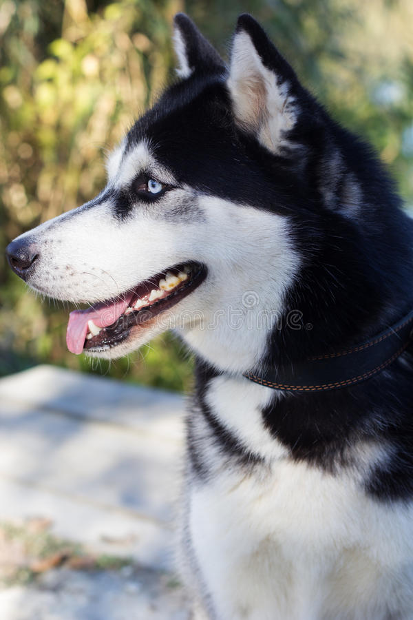 Cane in bianco e nero siberiano del husky con gli occhi - Cane occhi azzurri ...