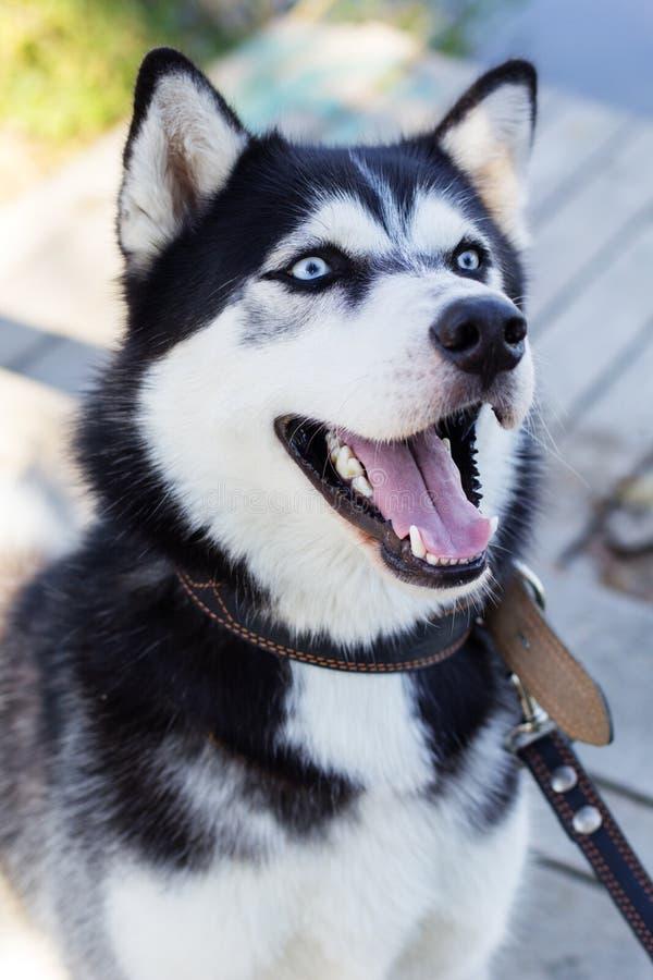 Cane in bianco e nero siberiano del husky con gli occhi azzurri fotografia stock immagine di - Husky con occhi diversi ...