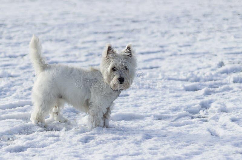 Cane bianco nella neve che esamina la macchina fotografica immagini stock libere da diritti