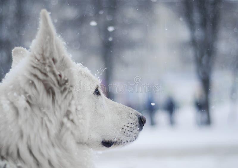 Cane bianco sotto neve immagine stock