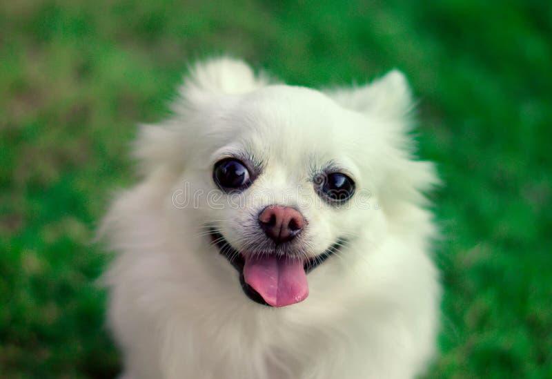 Cane bianco sveglio della chihuahua con la lingua fuori fronte del tipo di sorriso immagine stock libera da diritti