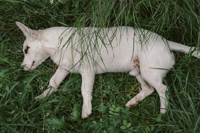 Cane bianco sveglio su prato inglese verde fotografia stock