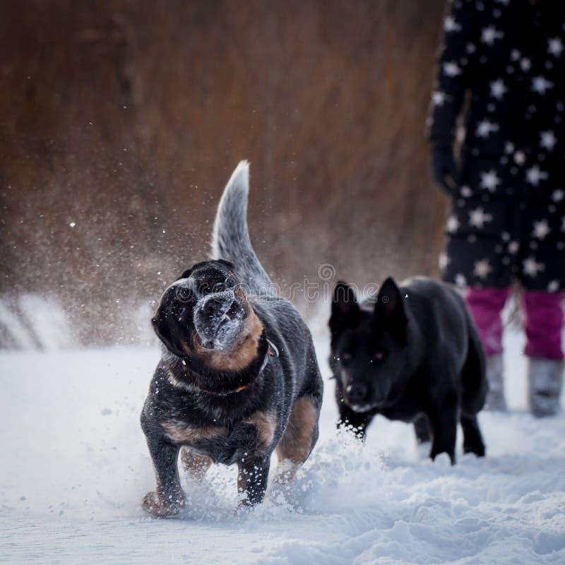 Cane blu australiano del bestiame con il cane da pastore dell'Europa orientale sul campo di inverno immagini stock