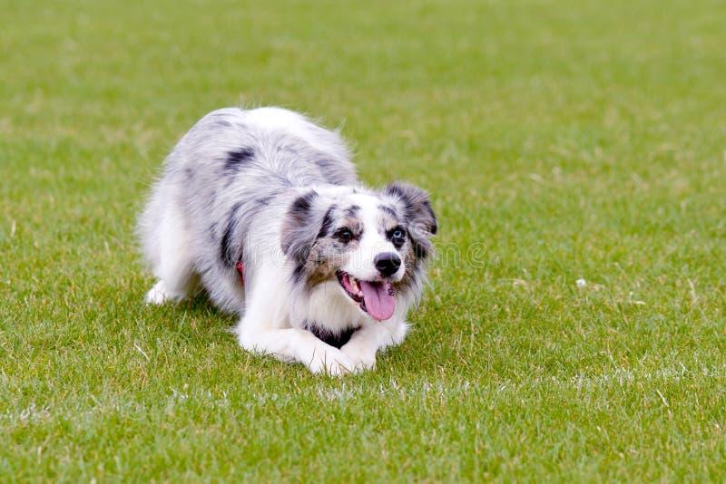 Cane blu di Merle border collie che si trova sull'erba in parco immagine stock libera da diritti