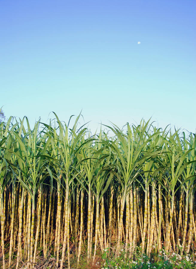 Download Cane and blue sky stock photo. Image of green, fresh - 21711550