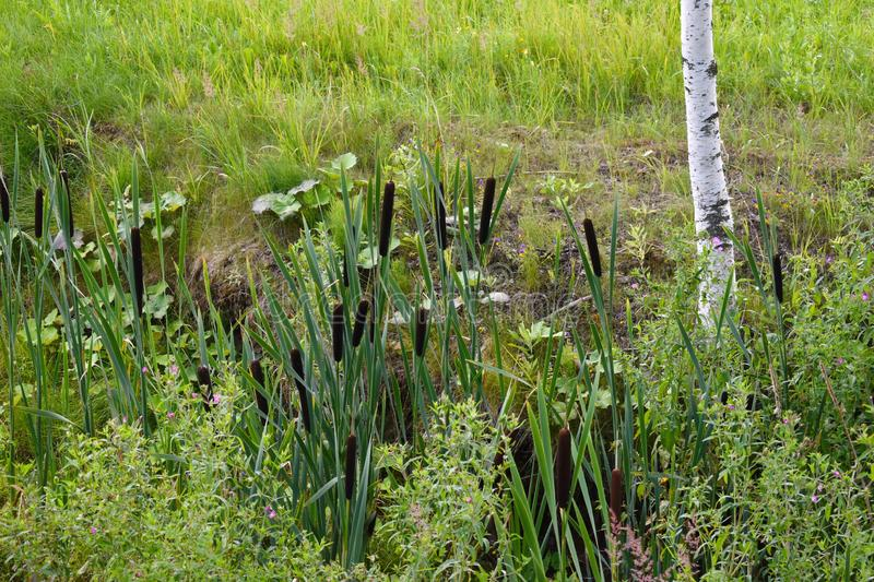 Cane bushes on a pond in the summer stock photos