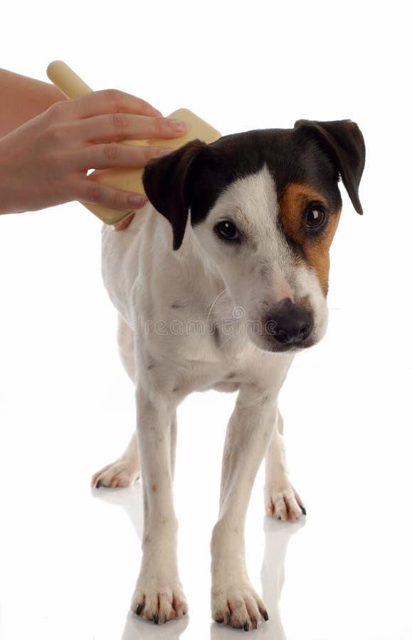 Cane che è governato fotografie stock