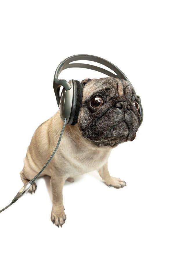 Cane che ascolta la musica Cane del Pug isolato su priorità bassa bianca immagine stock libera da diritti