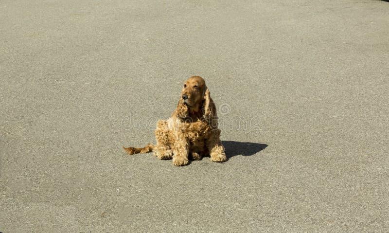 Cane che aspetta sulla via immagini stock