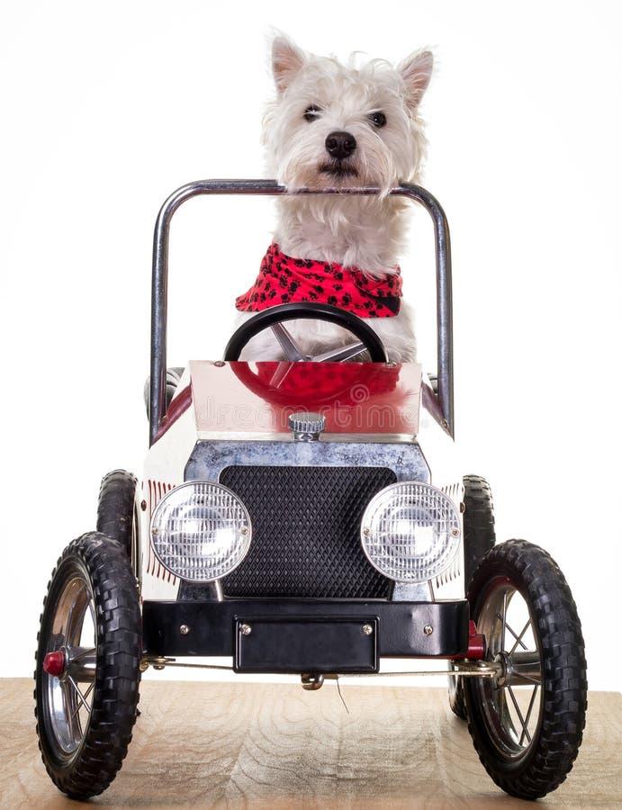 Cane che conduce un'automobile fotografie stock