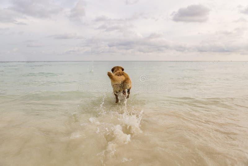 Cane che corre al mare immagine stock