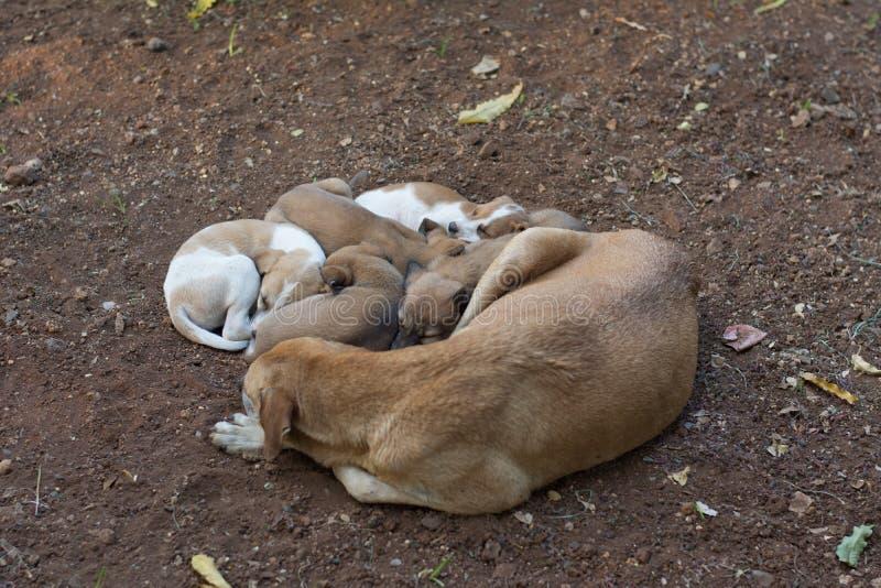 Cane che dorme con cinque cuccioli fotografia stock