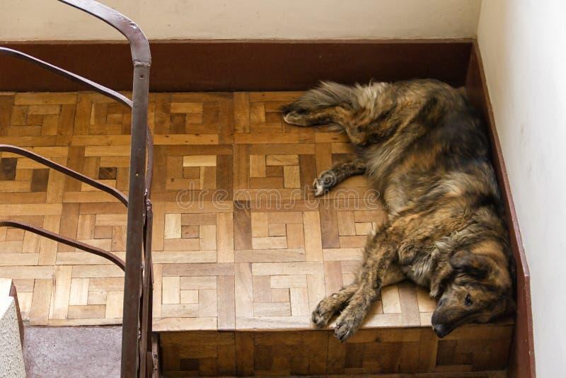 Cane che dorme sulle scale fotografia stock libera da diritti