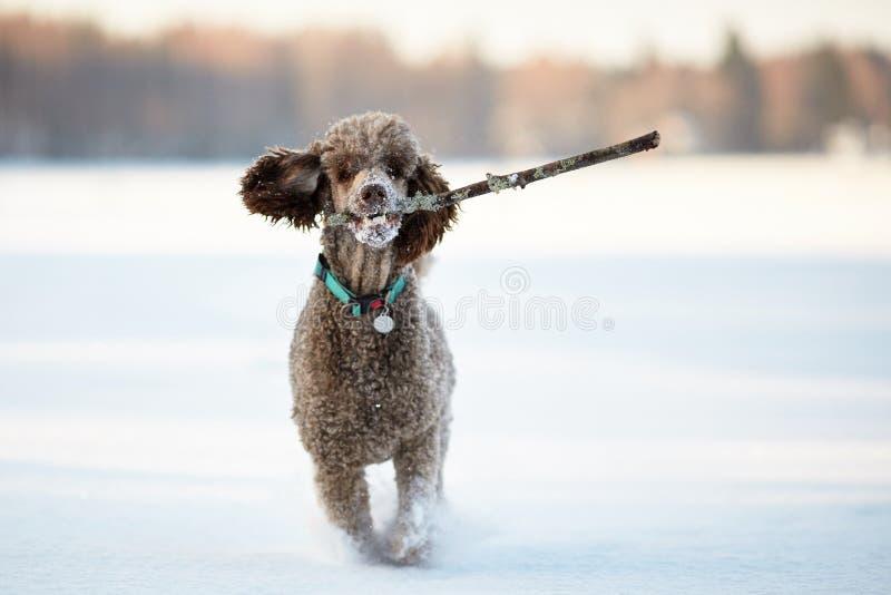 Cane che esegue e che gode della neve un bello giorno di inverno fotografia stock