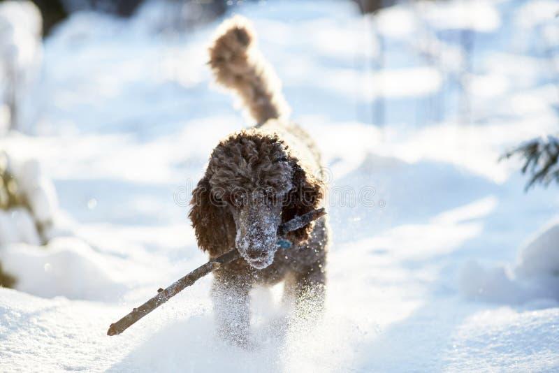 Cane che esegue e che gode della neve un bello giorno di inverno immagini stock libere da diritti