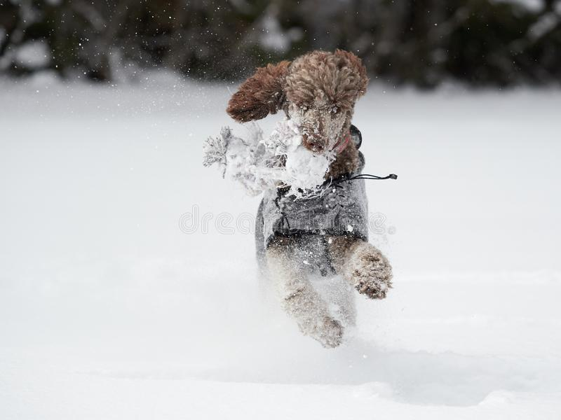Cane che esegue e che gode della neve un bello giorno di inverno fotografie stock libere da diritti