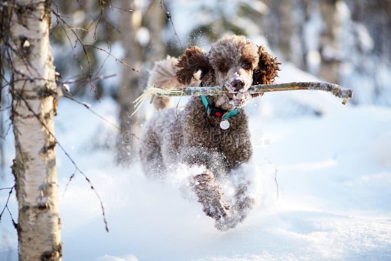 Cane che esegue e che gode della neve un bello giorno di inverno fotografia stock libera da diritti