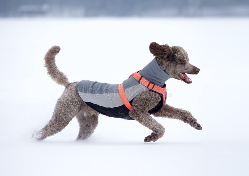 Cane che esegue e che gode della neve un bello giorno di inverno immagine stock