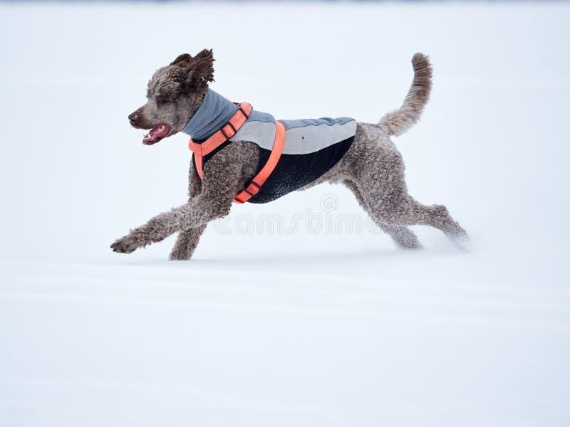 Cane che esegue e che gode della neve un bello giorno di inverno fotografie stock