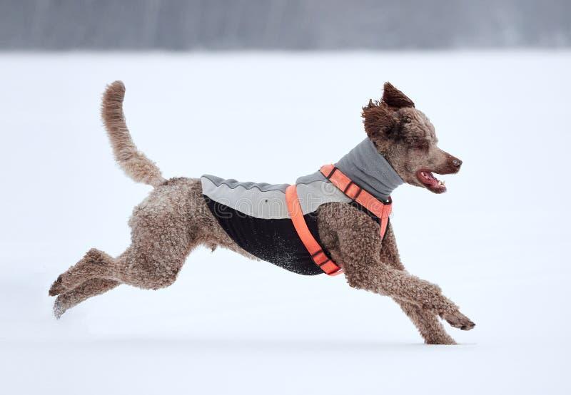 Cane che esegue e che gode della neve un bello giorno di inverno immagine stock libera da diritti